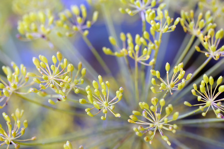 umbel: Dill (Anethum graveolens) umbel with seeds Stock Photo