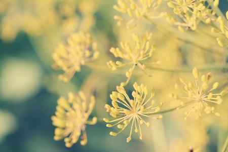 umbel: Dill (Anethum graveolens) umbel with seeds. Retro toned photo