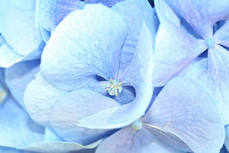 bigleaf hydrangea: Hydrangea macrophylla (bigleaf hydrangea) with roses Stock Photo