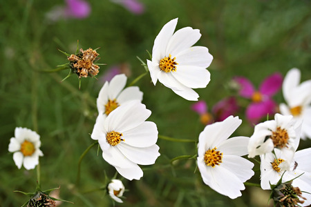 Cosmos bipinnatus, commonly called the garden cosmos or Mexican aster photo