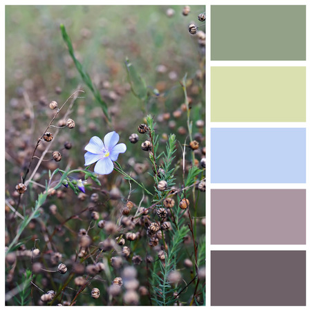 linum: Linum perenne (perennial flax, blue flax or lint) seeds with complimentary colour swatches