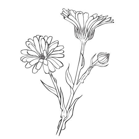 cempasuchil: Flores dibujadas a mano - officinalis Cal�ndula o cal�ndula. Estilo de dibujo de tinta