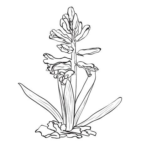 hyacinthus: Hand drawn flowers - Garden hyacinth (Hyacinthus orientalis)