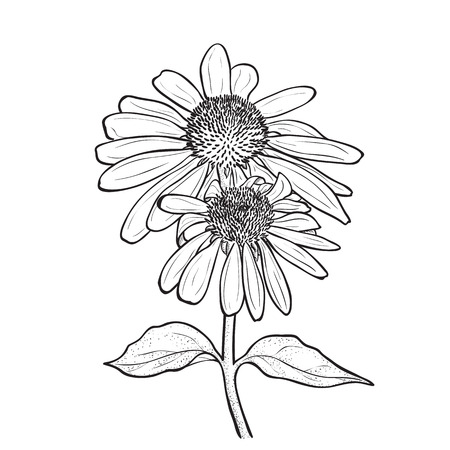 stamen: Hand drawn flowers - Echinacea purpurea (purple coneflower). Ink style drawing