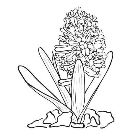 hyacinthus: Flores dibujadas a mano - Jard�n jacinto (Hyacinthus orientalis). Estilo de dibujo de tinta