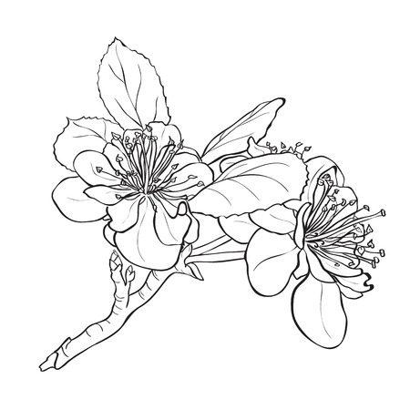 buds: Flower - cherry blossoms drawing. Ink style vector Illustration