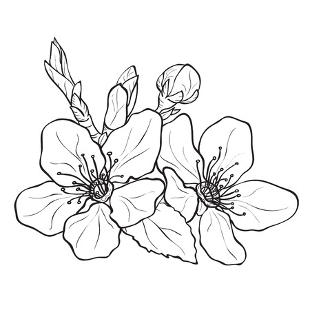 peaches: Flower - cherry blossoms drawing. Ink style vector Illustration