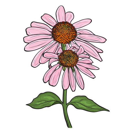Hand drawn flowers - Echinacea purpurea (purple coneflower). Ink style drawing