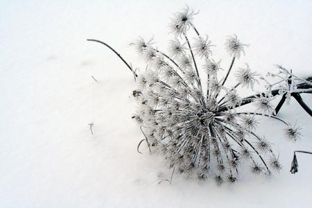 umbel: Sosnowsky hogweed (Heracleum sosnowskyi) umbel sovered with snow