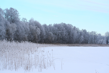 phragmites: Winter lake, reed and forest covered with snow