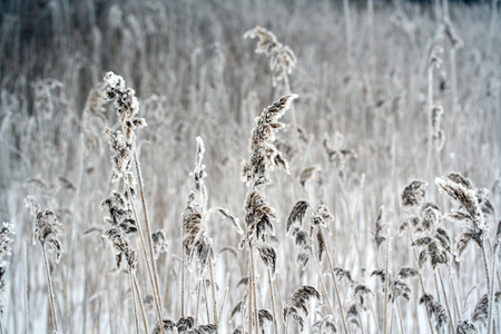 phragmites: Phragmites, the common reed, panicle covered with snow