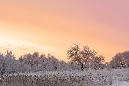 december sunrise: Winter field and apple tree covered with snow at sunset