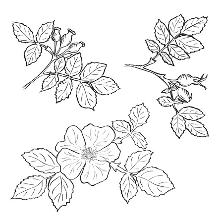 rosaceae: Hand drawn sketch dog rose flowers and fruits, ink drawing imitation
