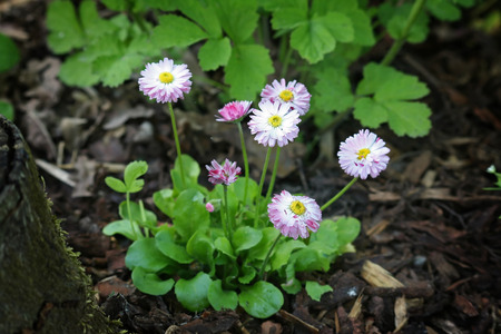 White and pink Bellis perennis flowers in garden