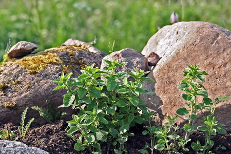 origanum: Origanum vulgare (oregano) young plant in the rock garden, late spring (early summer) season