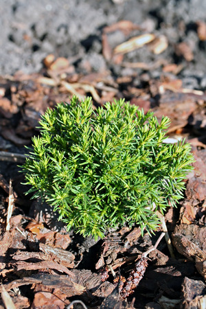 thuja occidentalis: Small thuja occidentalis Teddy in the garden, two years old plant. Stock Photo