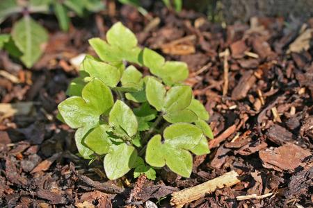 liverwort: Hepatica nobilis (liverleaf or liverwort) bush closeup, early european spring