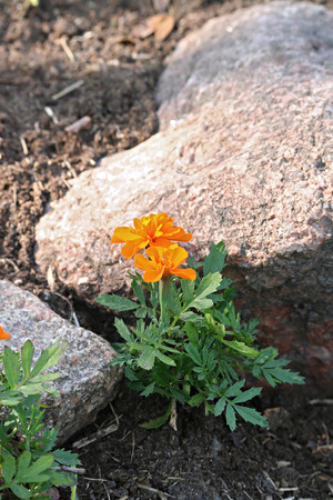 patula: Tagetes patula (the French marigold) in the alpine garden, early summer Stock Photo