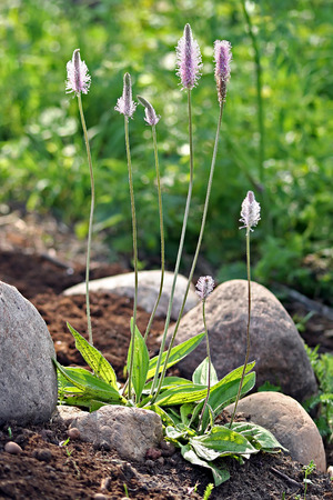 plantaginaceae: Flowering Plantago media (hoary plantain) in the rock garden, early summer Stock Photo
