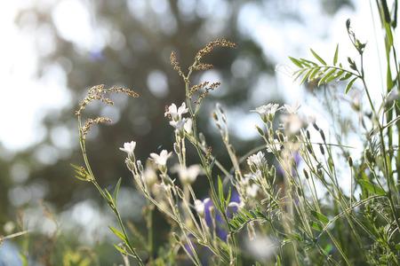 cerastium tomentosum: Cerastium tomentosum (Snow-in-Summer) or mouse-ear chickweed, flowering. Soft focus, blured background Stock Photo