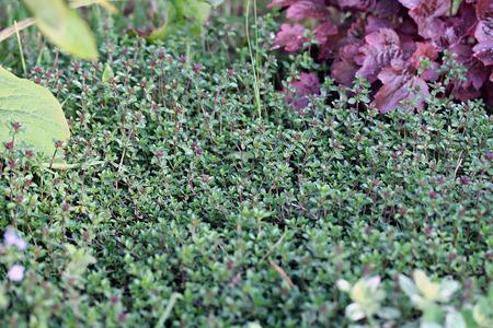 lamiales: Thymus citriodorus (Lemon thyme or Citrus thyme) in the garden