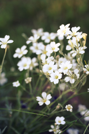 cerastium tomentosum: Cerastium tomentosum (Snow-in-Summer) or mouse-ear chickweed, flowering. Soft focus, blured background, toned with filters Stock Photo