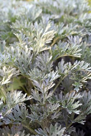 ajenjo: Artemisia absinthium (absinthe, absinthe wormwood) in the garden