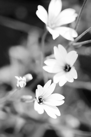 cerastium tomentosum: Cerastium tomentosum (Snow-in-Summer) or mouse-ear chickweed, flowering. Soft focus, blured background, toned with black&white filter