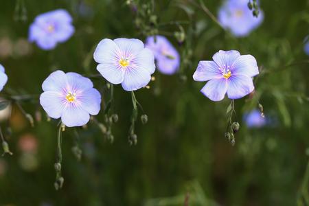 linum: Linum perenne (perennial flax, blue flax or lint)