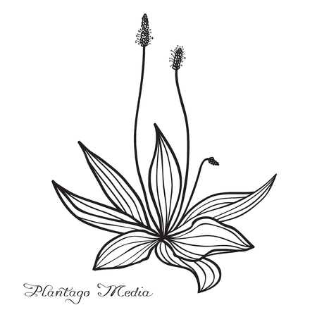 plantaginaceae: Hand drawn Plantago media (hoary plantain), sketch, ink drawing imitation Illustration