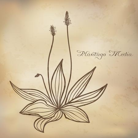 plantaginaceae: Hand drawn Plantago media (hoary plantain),