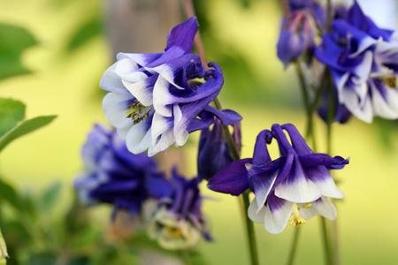 Aquilegia vulgaris (European columbine, Grannys bonnet, Grannys nightcap) in a garden in Latvia. Soft focus