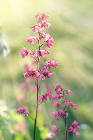 Heuchera (alumroot or coral bells) flowers in sun light and rays.