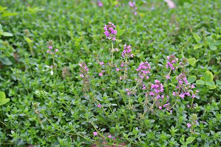 lamiales: Thymus serpyllum, known as Breckland thyme in garden