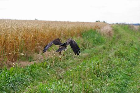The common buzzard (Buteo buteo) on the field