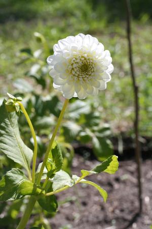 White Dahlia Honky flower in the garden in Latvia, Europe