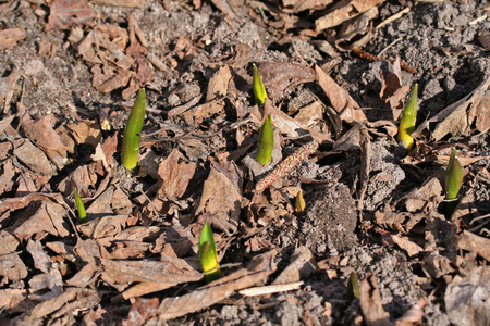 Scilla siberica (Siberian squill, wood squill) plants in early spring, Latvia, Europe