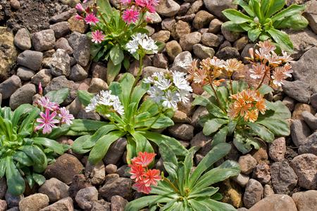 Lewisia cotyledon Elise Mixed flowers in rock garden in Latvia, Europe. Stock Photo