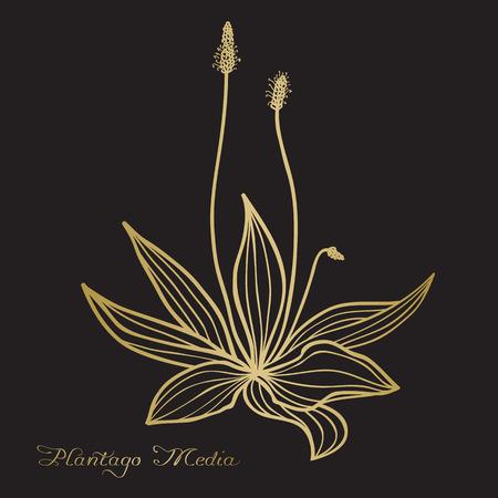 Hand drawn Plantago media (hoary plantain), vector sketch, ink drawing imitation Illustration
