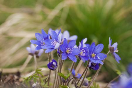 liverwort: First spring flower - Anemone hepatica or Hepatica nobilis (common hepatica, liverwort) flowers, early spring. Latvia, Europe