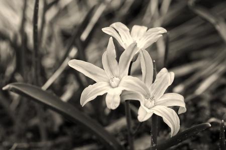 Chionodoxa luciliae (Scilla luciliae) flowers in spring garden, Latvia, Europe. Retro photo effect