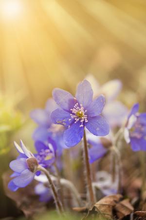 First spring flower - Anemone hepatica or Hepatica nobilis (common hepatica, liverwort) flowers, early spring. Latvia, Europe