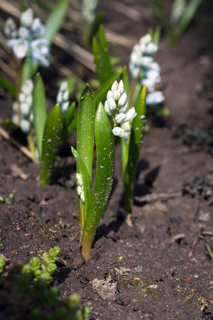 earliest: Puschkinia scilloides (Striped Squill or Puschkinia libanotica) flowers in early spring, Latvia, Europe Stock Photo