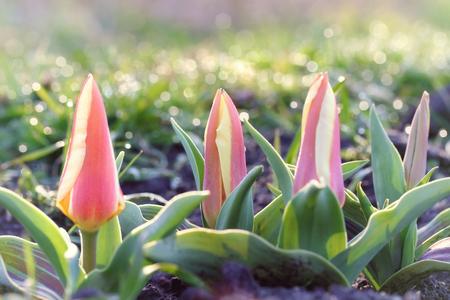Tulipa greigii Authority in early morning, retro photo filter effect. Latvia, Europe Stock Photo