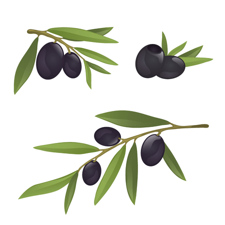Olive branches with black olives, fully hand drawn vector