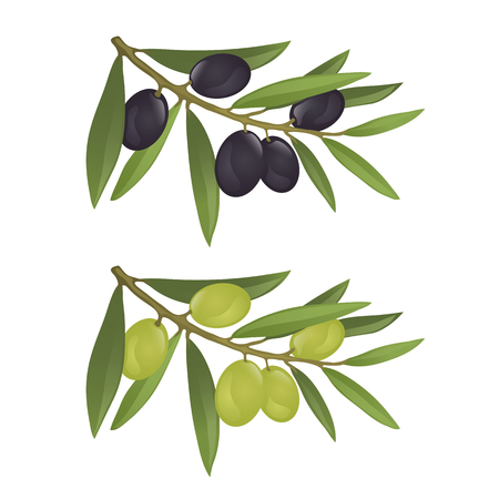 Olive branches with green and black olives, fully hand drawn vector Illustration