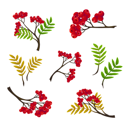 sorbus: Autumn rowan branch with  leaves, isolated on a white background. Vector illustration, hand drawn elements