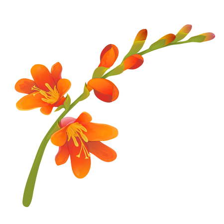 Crocosmia flower branch, highly detailed hand drawn vector Illustration