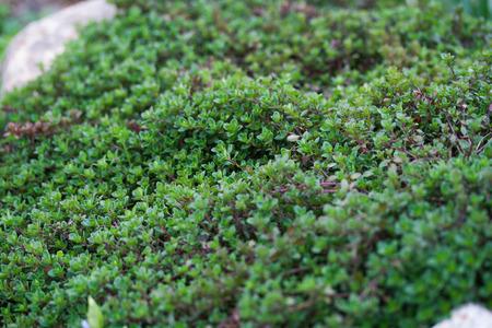 Thymus serpyllum, known as Breckland thyme in garden