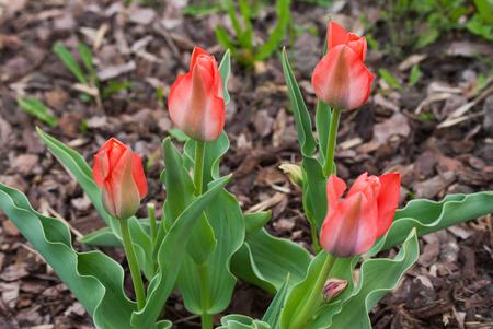 Tulipa Greigii Toronto in garden. Latvia, Europe Stock Photo